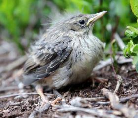 Fallen Baby Birds   Historic Union County