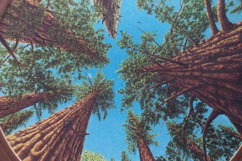 picture of tall trees
