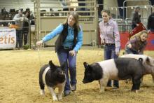 Kennedy Hill showing at the State 4-H Hog Show